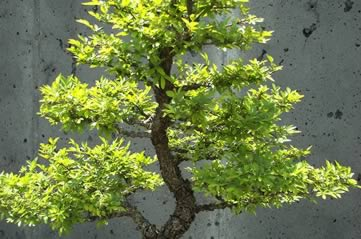 bonsai - Discover the delicate beauty of bonsai. [A Thing To Do Tomorrow]