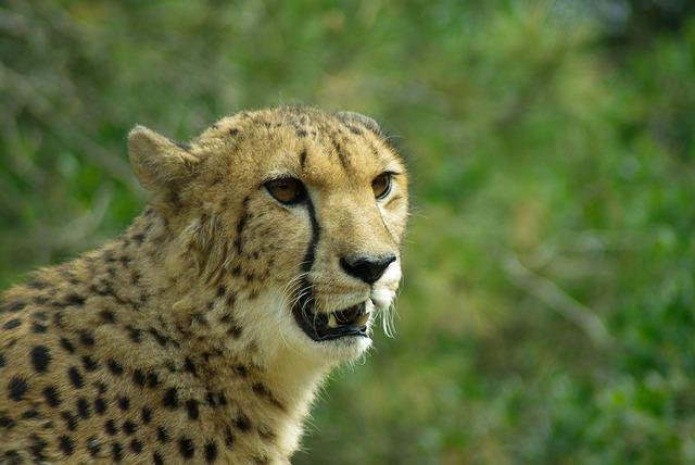 cheetahhead - Meet a cheetah at Dallas Zoo. [ATTDT]