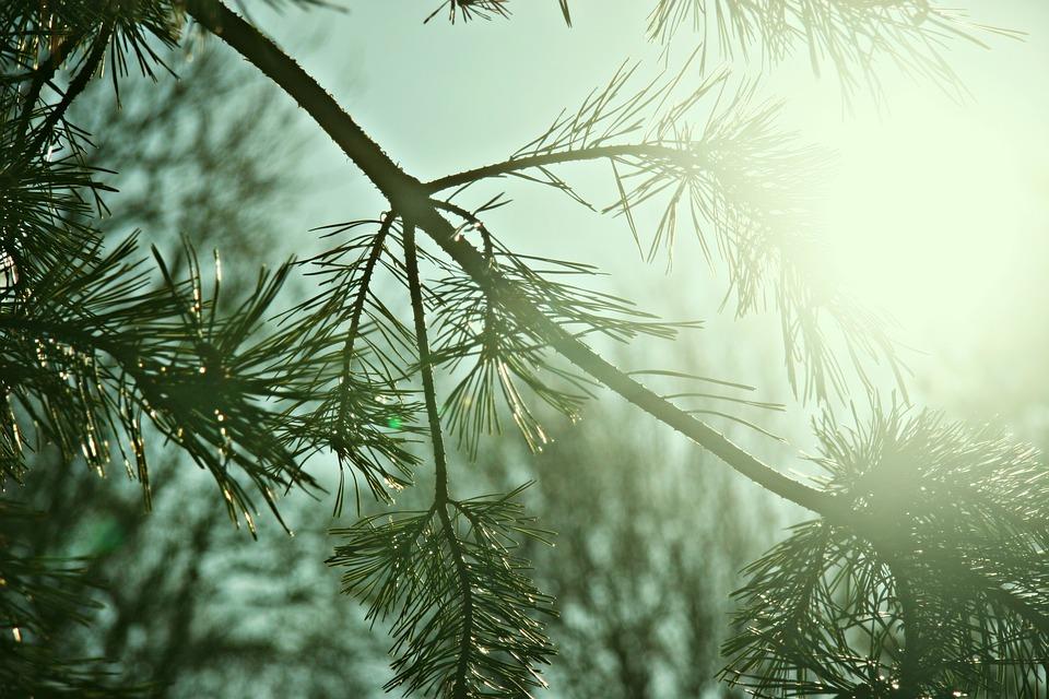 conifersun - Explore the evergreens for free. [ATTDT]