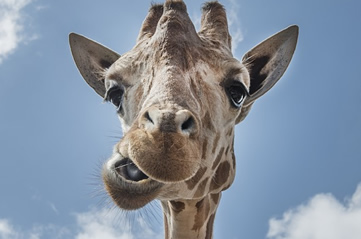 giraffeeating - Feed a giraffe at Denver Zoo. [ATTDT]