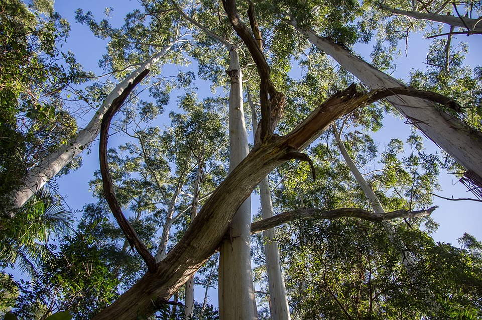 gumtrees - Discover uniquely Australian flora. [ATTDT]