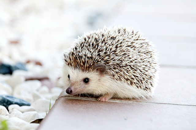 hedgehog - See overwhelming cuteness at Tiggywinkles. [ATTDT]