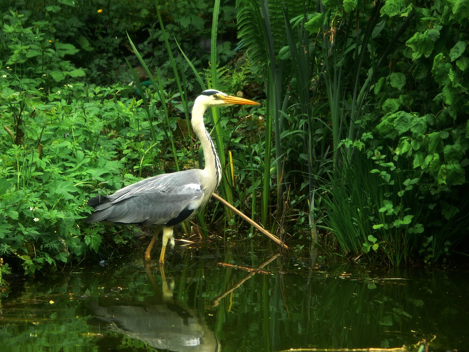 heron - Say hello to the herons at Coombe Abbey. [ATTDT]