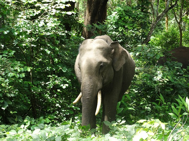 indianelephant - Find out how to train an elephant. [ATTDT]