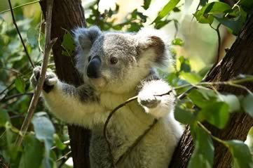koala - Discover how cute koalas can be. [ATTDT]