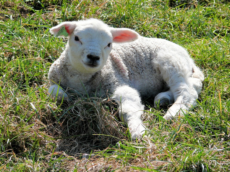 lambfield - Welcome lambs into the world. [ATTDT]