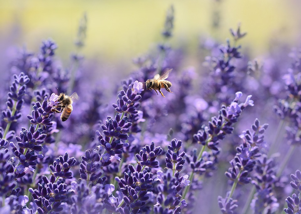 lavenderbees - Lose yourself among lavender. [ATTDT]