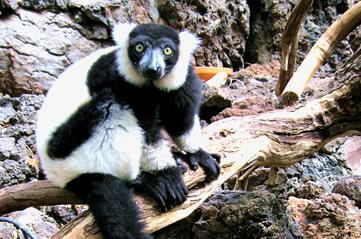 lemur - Look out for lemurs from Reid Park Zoo. [ATTDT]