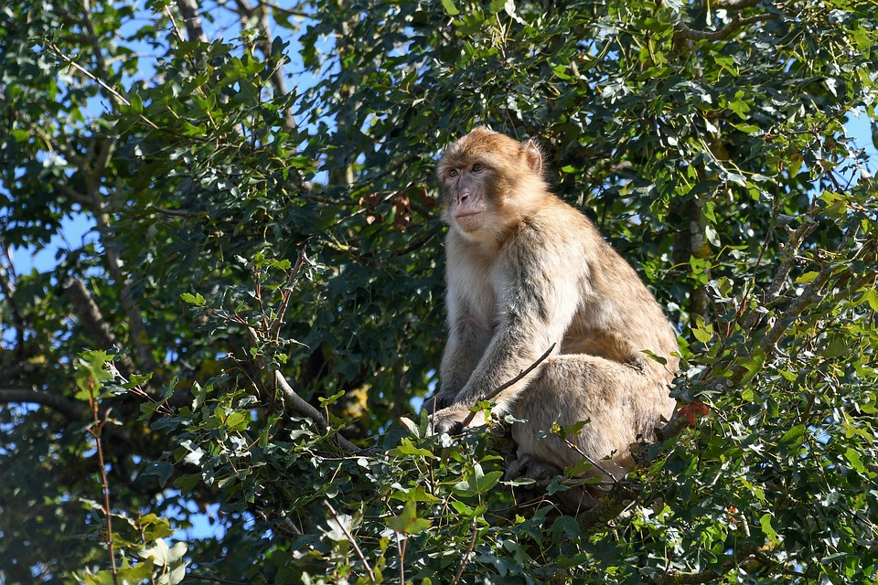 macaquetree - Have lunch with macaques. [ATTDT]