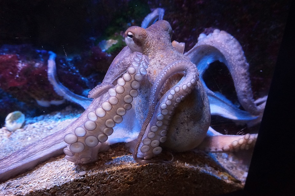 octopus - Be sucked into an octopus's lunch at the Blue Reef Aquarium. [ATTDT]