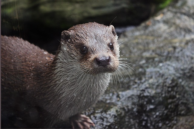 otter - Have lunch with otters at the Blue Reef Aquarium. [ATTDT]