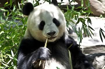 panda - Check up on San Diego's pandas - online. [A Thing To Do Tomorrow]