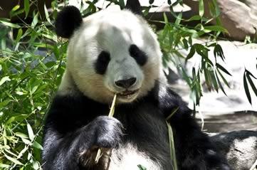 panda - Check up on San Diego's pandas - online. [ATTDT]