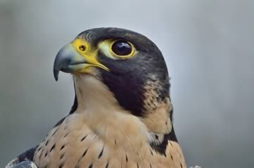 peregrinefalcon - Say hi to Boh and Barb. [ATTDT]