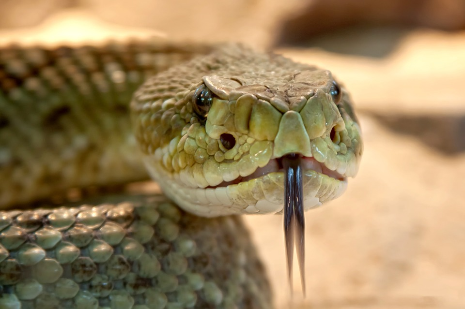 rattlesnakehead - Have dinner with snakes. [ATTDT]