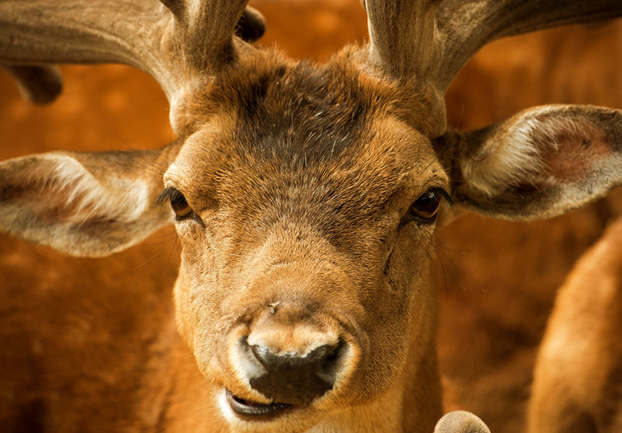 reddeer - Say hello to the baby deer at Normanby Hall. [ATTDT]