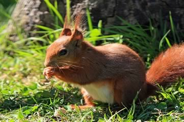 redsquirrel - Spot some red squirrels. [ATTDT]