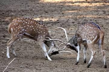 ruttingdeer - Watch deer rutting in Richmond Park. [ATTDT]