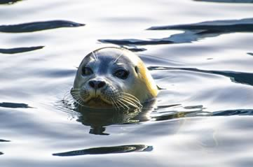 sealhead - Secretly spy on Seattle's seals. [ATTDT]