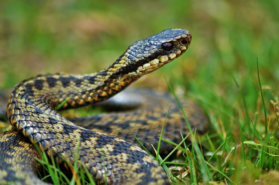 snakeadder - Say hello to Britain's reptiles. [ATTDT]