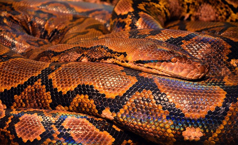 snakepython - Stroke a snake. [A Thing To Do Tomorrow]