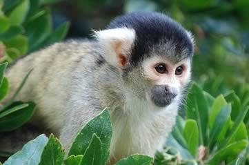 squirrelmonkey - Meet the monkeys at Bonnet House. [ATTDT]