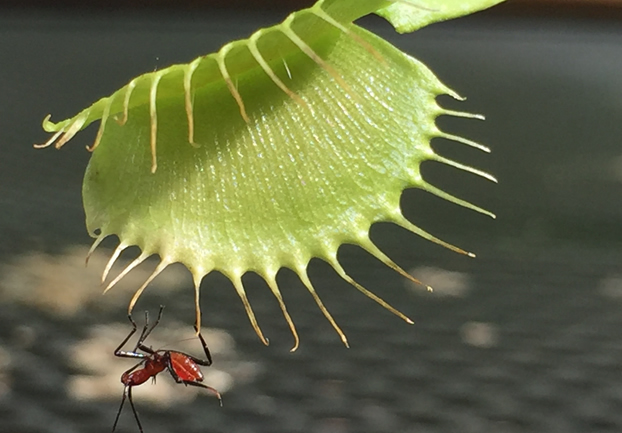 venusflytrap - Look out for carniverous plants. [ATTDT]